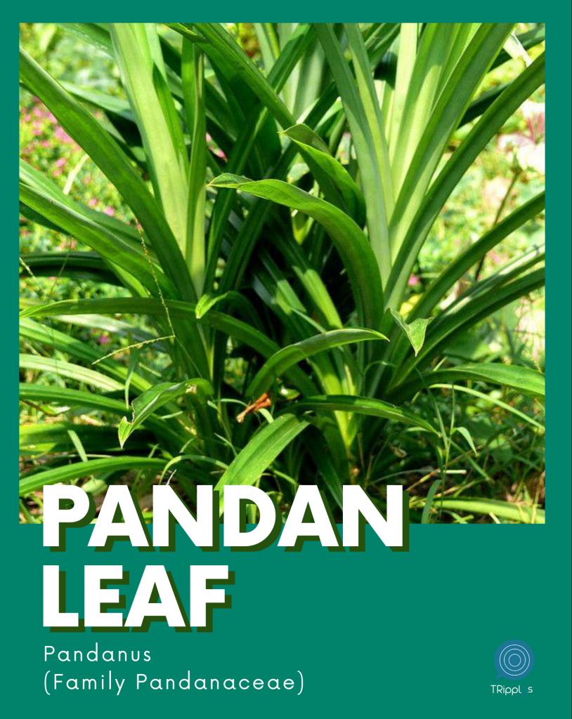 pandanus pandan plant